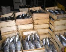 Maxi sequestro di prodotti ittici a Terracina, erano in un pessimo stato di conservazione