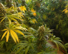 Aprilia, madre e figlia sorprese con 14 piante di marijuana. Denunciate