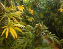 Coltivava marijuana nel suo appartamento di Lanuvio, 50enne denunciato dalla Polizia.