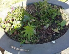 Anzio, tra le fioriere di piazza Garibaldi spunta una pianta di marijuana