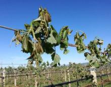 SERMONETA – L'appello del sindaco agli agricoltori per segnalare i danni subiti dal gelo.