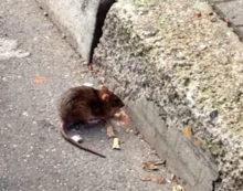 I topi invadono il centro di Aprilia, nuove segnalazioni da piazza Benedetto Croce