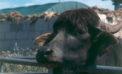 Allevatore pontino denunciato: bufali senza registrazione e locali inadeguati