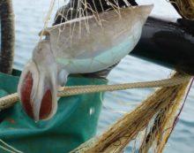 """""""Nero di seppia day"""": questa domenica a Nettuno una gara di pesca sportiva."""