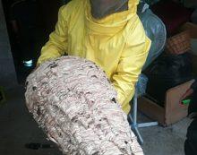 Aprilia – Nido gigante di calabroni in un magazzino, l'intervento dei vigili del fuoco