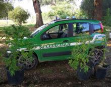 Scoperta dai Forestali una piccola piantagione di marijuana all'interno del Parco Naturale del Circeo.