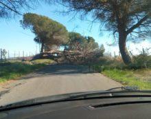 Un grosso albero cade lungo via Pantenella, ad Aprilia.