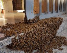 Sciame di api si raduna davanti la chiesa di Campoverde, salvate dai cittadini