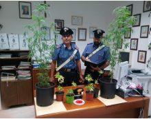 Trovato con le piante di marijuana in casa a Sezze, denunciato