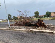 Maltempo, albero precipita in strada in via Scarlatti, ad Aprilia.