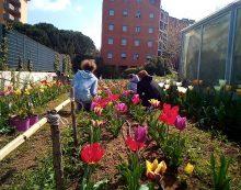 Aprilia, è il momento dei tulipani presso la serra della Jolly Italia