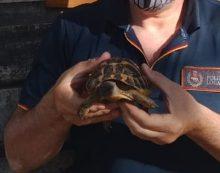 Parco degli Acquedotti, la Polizia Locale mette in salvo una tartaruga a rischio estinzione