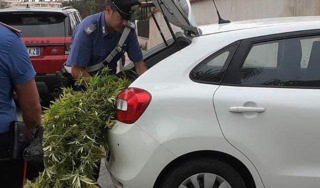 Coltivava marijuana sul retro del giardino di casa. 43enne di Anzio in manette ed oltre 7 chili di droga sotto sequestro.